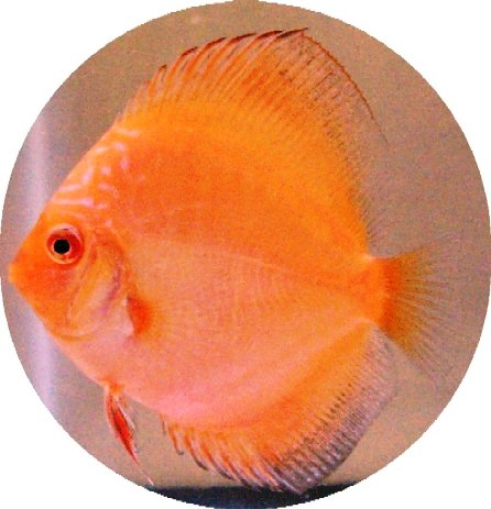 Tangerine Diamond Discus Fish - 2 inch